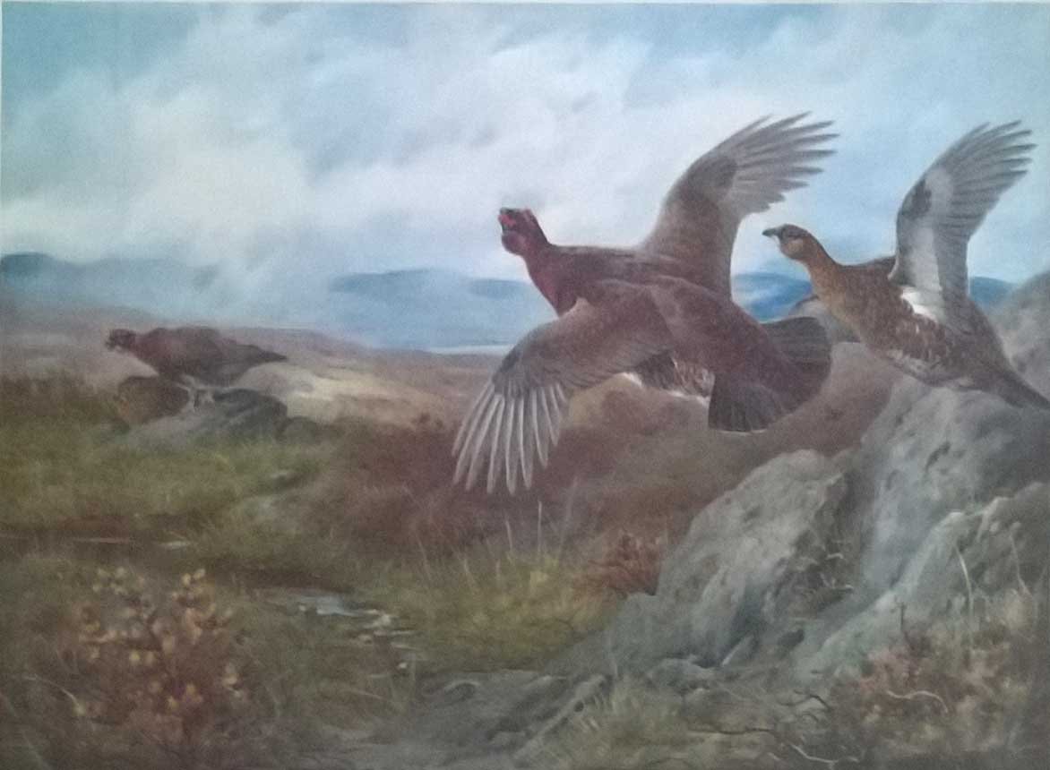 Archibald Thorburn Grouse, Summer