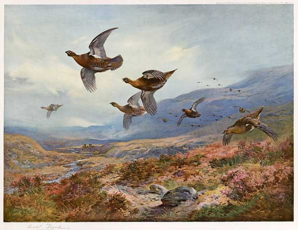 Grouse Over The Moors